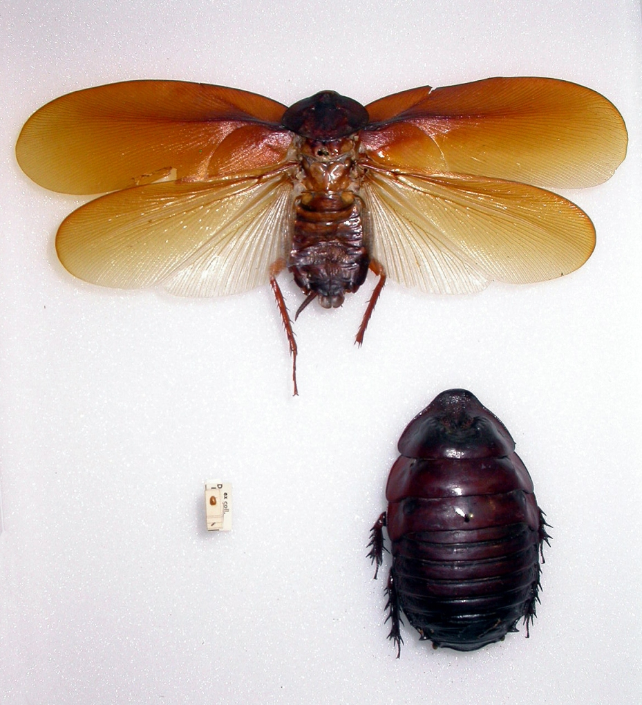 Cockroaches_largest_and_smallest_Copyrig