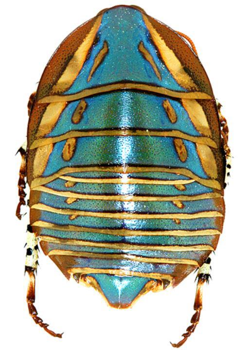 http://cockroach.speciesfile.org/HomePage/Cockroach/Diversity/DivImages/Polyzosteria_mitchelli.Adult_female.Copyright_Josef_Dvor%C3%A1k.jpg